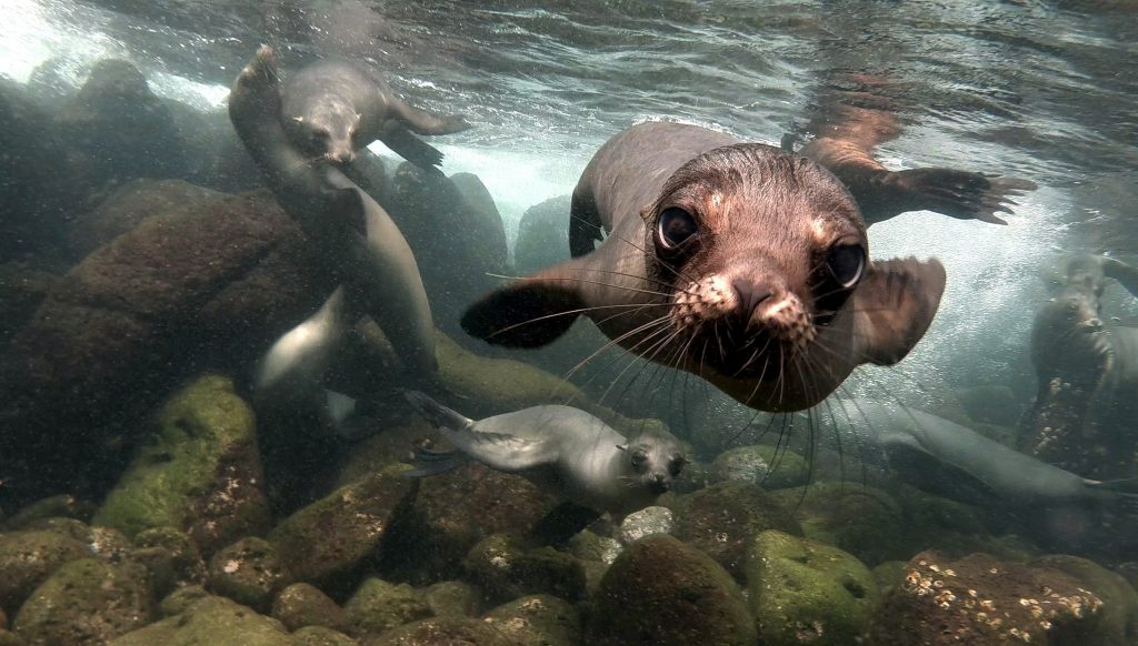 Dream Incentive Destination: Galapagos Island Curious Sea Lion Underwater   Element - The Prize & Incentive People